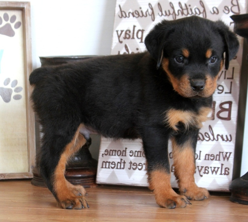 Kentucky Very tiny Yorkie puppies : Pets and Animals in